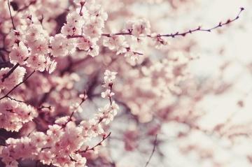 花見の時期だから注目したい、生物防除はサクラの救世主になるか?