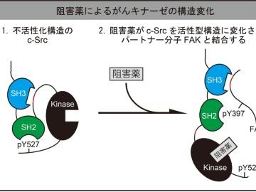 キナーゼ阻害薬は両刃の剣か?抵抗性変異との遭遇で細胞を増殖