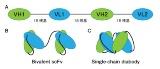 低分子化抗体での挫折