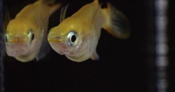 """機能性成分の生物個体における評価で""""魚""""に注目、CRISPRで効率100倍に"""