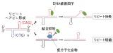 阪大中森氏、「リピート病でみられるヘアピン構造を標的に特異性高く」