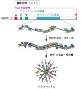北大廣瀬氏、「lncRNA狙った創薬には構造体の立体構造の理解が重要」
