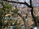 かずさDNA研と島根大、京都府立大、遺伝子解析でサクラの開花予想