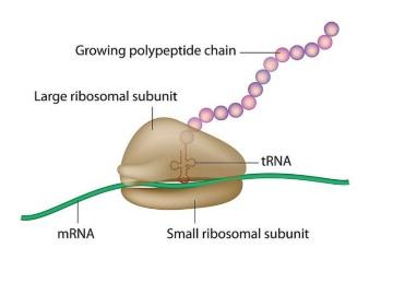 米研究者など、ウイルスが宿主細胞内で予期せぬ蛋白質を産生させる仕組みを解明