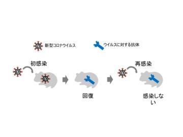 東大医科研河岡氏、「新型コロナに生ワクチンは効く可能性が高い」