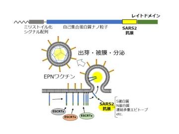弘前大、新型コロナに蛋白質ナノ粒子用いる粘膜免疫誘導ワクチンを開発中