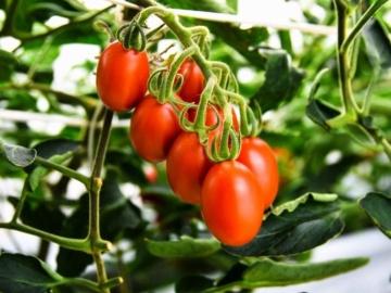 筑波大発サナテックシード、ゲノム編集トマトの苗を来春から提供へ