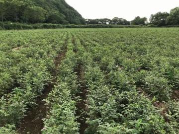 王子HD、薬用植物カンゾウの短期栽培技術を確立