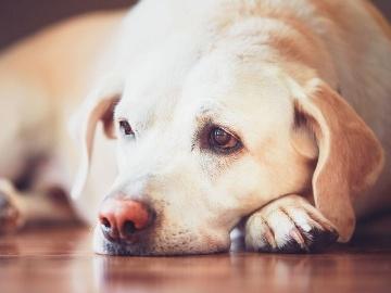 北大や扶桑薬品など、イヌ抗PD-L1抗体の臨床試験で安全性と有効性を確認