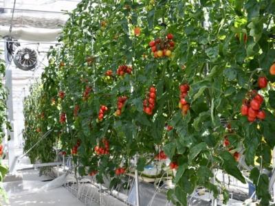 筑波大学筑波キャンパスの隔離温室では、シシリアンルージュハイギャバが栽培され、実(果菜)を付けていた(提供:サナテックシード)