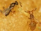 明治学院大、親戚同士で協力するハチの繁殖戦略を発見