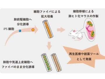 京都大、ヒトiPS細胞由来の肺前駆細胞を拡大培養してマウス肺に生着成功
