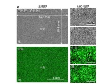 大阪大、大規模細胞集団から少数の特殊な細胞を検出する光イメージング技術を開発