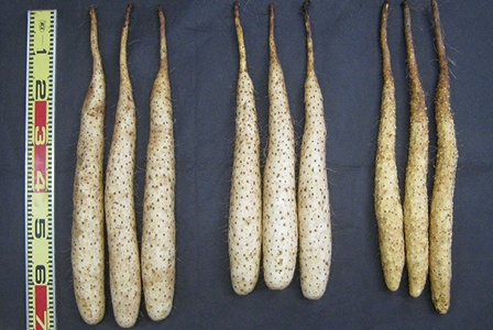ヤマノイモ(自然薯など)
