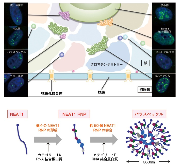 超解像顕微鏡で長鎖ncRNAの機能解析