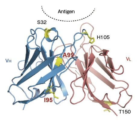 蛋白質の翻訳後修飾を、生細胞内で可視化