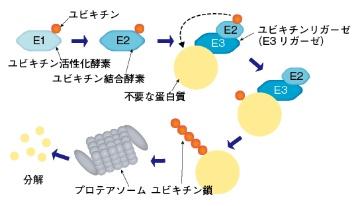臨床入り目前の標的蛋白質分解誘導薬