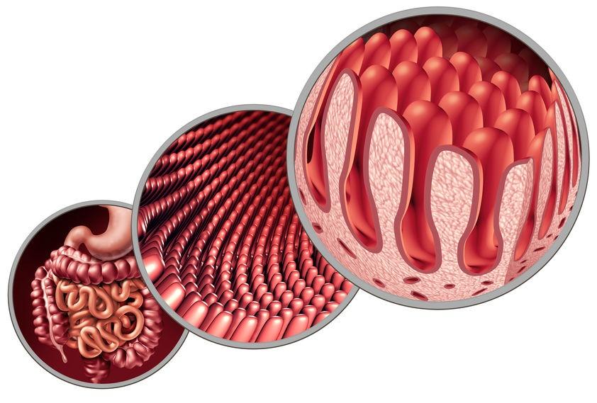 腸管上皮オルガノイド