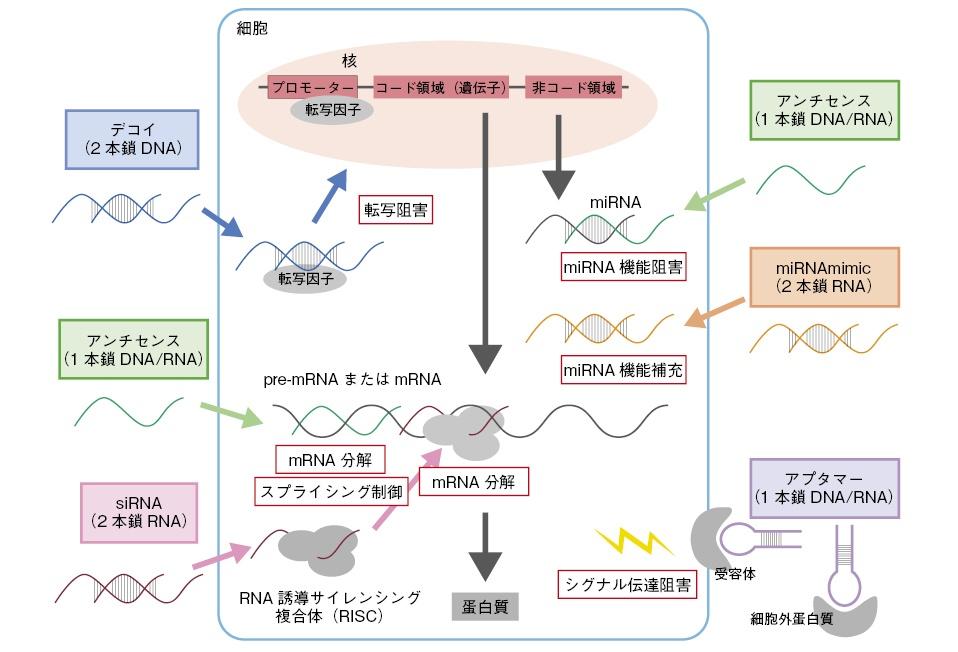 国内の核酸医薬の研究開発状況